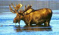 Wading moose.jpg