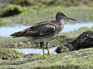 Tringa - Wandering tattler (Tringa incana), formerly in Heteroscelus