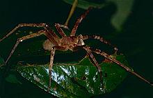 Wałęsak Brazylijski Wikipedia Wolna Encyklopedia