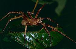 Wandering Spider (Phoneutria fera) (10623228224).jpg