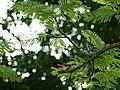 Warbler, American redstart (02b).JPG