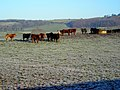 Wary Cattle Near Barnshalloch Bridge - geograph.org.uk - 638722.jpg
