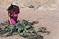 Welwitschia mirabilis Hook (7583022986).jpg