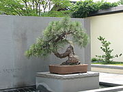 Western Yellow Pine, 1966-2007.jpg