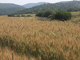 Wheat fields in Elah Valley