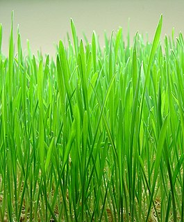 Wheatgrass food prepared from the cotyledons of Triticum aestivum