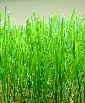 Wheatgrass - Indoor-grown wheatgrass 8-10 days before harvest.