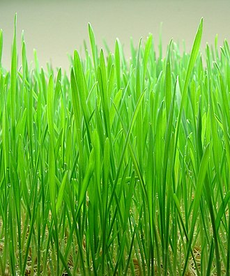 Wheatgrass - Indoor-grown wheatgrass 8–10 days before harvest.