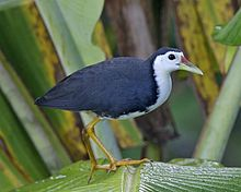 White-breasted Waterhen (Amaurornis phoenicurus).jpg