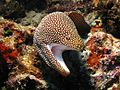 White-mouth moray from North Sulawesi; prilfish; July 2010.jpg