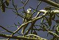 White-tailed Kite - Costarica Image7 (15414268756).jpg