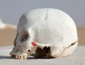 WhiteDesertSkullCropped - Zygomaticotemporal suture red.png