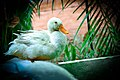 White Duck 1.jpg