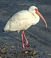 White Ibis (Eudocimus albus) - (19345544821).jpg