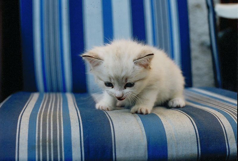 File:White kitten with long hair.jpg