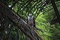 White necked eagle.jpg