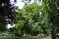 Wiener Naturdenkmal 564 - Platane (Innere Stadt) b.JPG