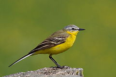 Adult male blue-headed wagtail (M. f. flava)
