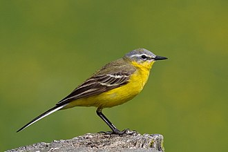 Western yellow wagtail - Adult male blue-headed wagtail (M. f. flava)