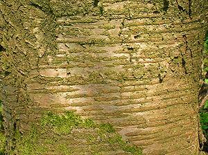 Lenticel - Image: Wild Cherry bark lenticels