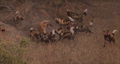 Wild Dogs Attack Spotted Hyenas to Defend Their Kill HD 9.png