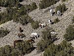 about 10 horses grazing on a hill covered with sage and juniper