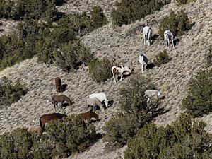 Placitas, Sandoval County, New Mexico - Wild Horses of Placitas, 2012. They are the source of some controversy. They eat the wild grass faster than it can renew itself, which will lead to erosion problems. Photo courtesy of John Fowler, Placitas.