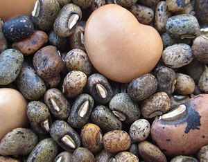 Cowpea - Seeds from the wild type cowpea are much smaller than the cultivated variaties