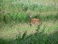 Wild deer at Canonteign - geograph.org.uk - 729600.jpg