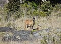 Wild goat (38000070141).jpg