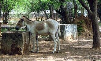 Indian wild ass - Image: Wildass vandaloor Tamilnadu 35 India