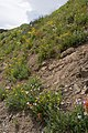 Wildflowers on the way to Cinnamon Pass (200735667).jpg