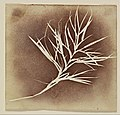 William Henry Fox Talbot - Photogenic Drawing of a Plant - Google Art Project.jpg