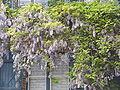 Wisteria sinensis01.jpg
