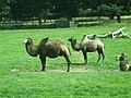 Woburn Safari Park - Camels - geograph.org.uk - 908999.jpg