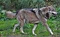 Wolf (233601219).jpeg