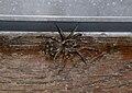 Wolf Spider Michigan.JPG