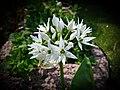 Wood garlic Bärlauch Allium ursinum 01.jpg