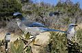 Woodhouse's Scrub Jay From The Crossley ID Guide Eastern Birds.jpg