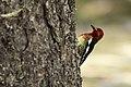 Woodpecker (14412512770).jpg