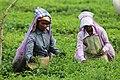 Workers in the Tea Garden of North Bengal.jpg