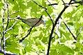 Worm-eating Warbler (7235499350).jpg