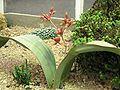 XN Welwitschia mirabilis 01.jpg