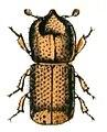 Xyleborus.monographus.-.calwer.29.25.jpg