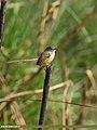 Yellow-bellied Prinia (Prinia flaviventris) (38911679385).jpg