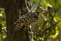 Yellow-crowned Woodpecker - India (15790491063).jpg
