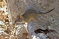 Yellow-footed Antechinus (Antechinus flavipes) (16535074760).jpg