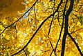 Yellow-maple.jpg