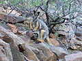 YellowFootRockWallabyAndJoey-P1010355.JPG