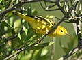 Yellow Warbler (female) (5005685712).jpg